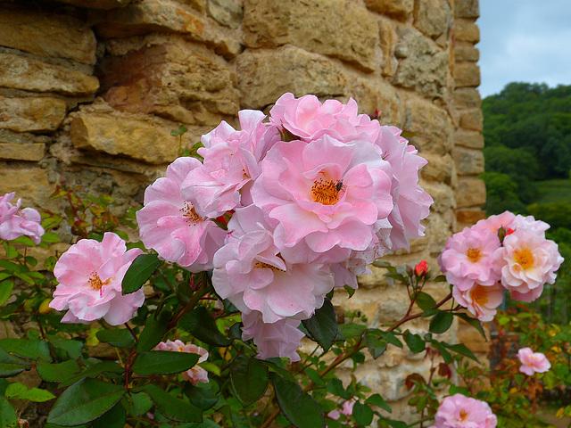 Quelques roses du château de Berzé
