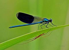 Demoiselle et araignée....  en cohabitation !...