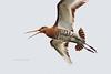 Black-tailed Godwit / Grutto (Limosa limosa)