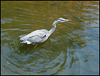 heron in the river
