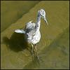 scruffy heron