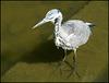 grey heron moult
