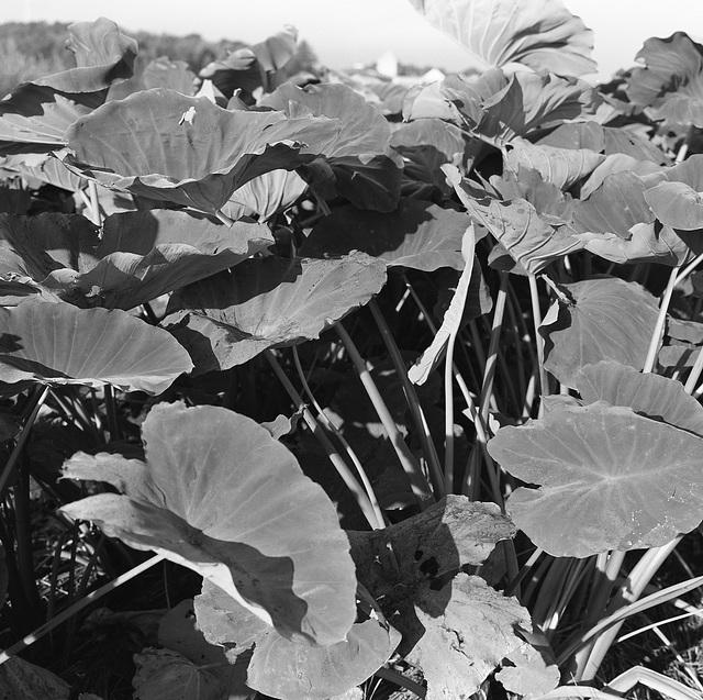 Eddoe leaves_4