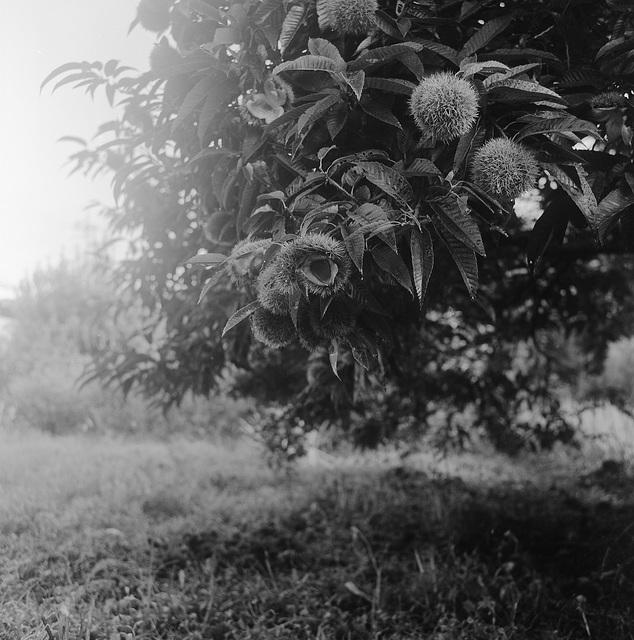 Chestnuts are ripe