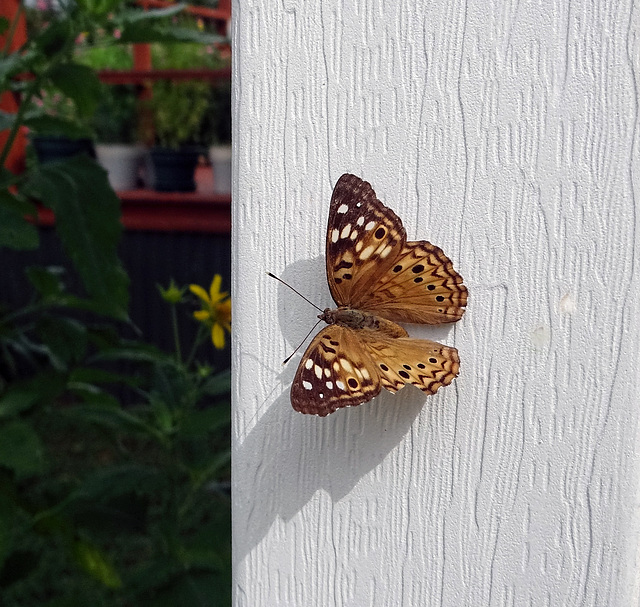 Hackleberry Emperor (Asterocampa celtis) butterfly