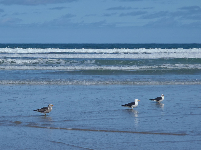 Pacific gulls and young