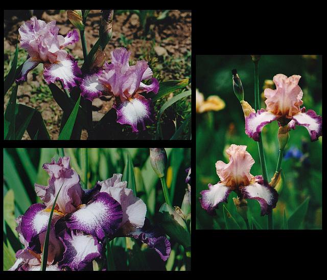 Iris Change Of Pace