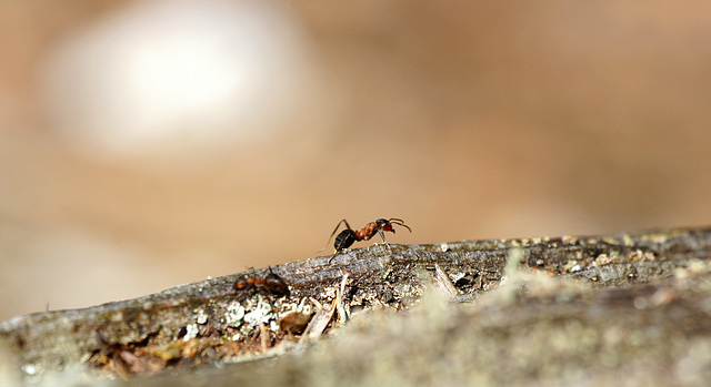 Foraging Wood Ant