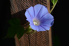 Another bindweed