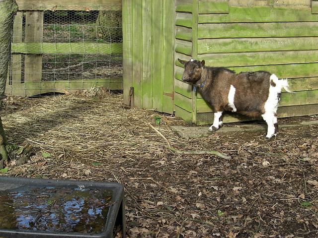 Poppy the Goat