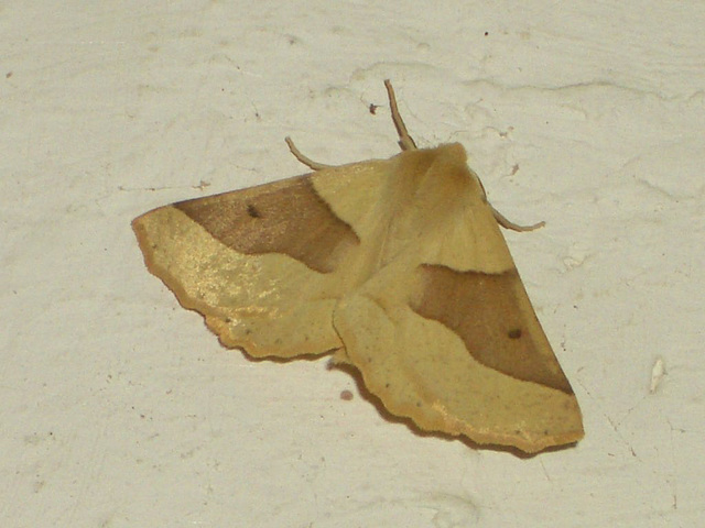 1921 Crocallis elinguaria (Scalloped Oak)