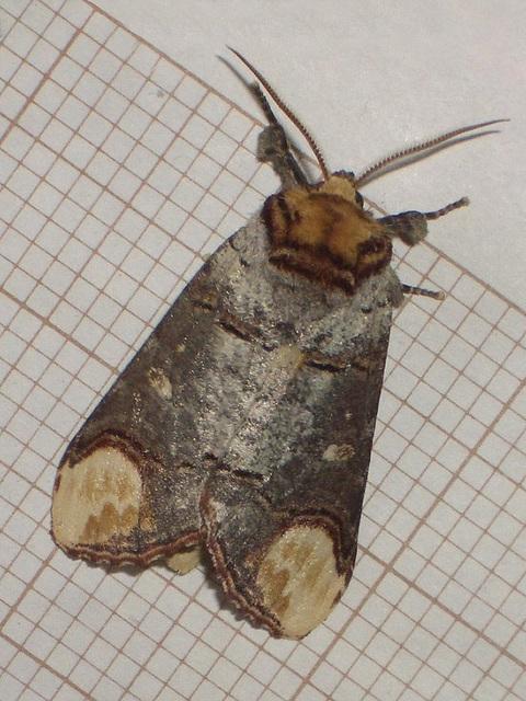 1994 Phalera bucephala (Buff-tip)