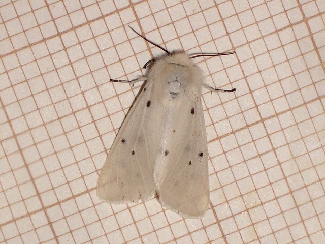 2063 Diaphora mendica (Muslin Moth) Female