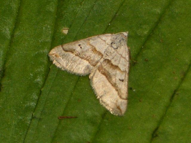 1733 Scotopteryx mucronata (Lead Belle)