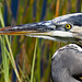 Grey Heron up close 2