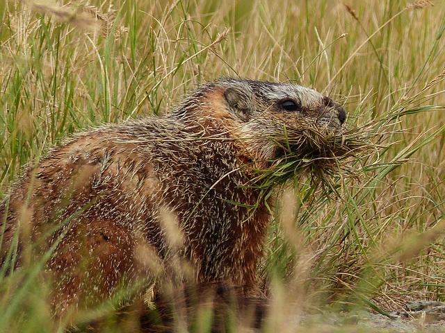 Yellow-bellied Marmot gathering grasses