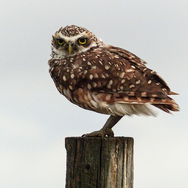 Burrowing Owl, after the storm