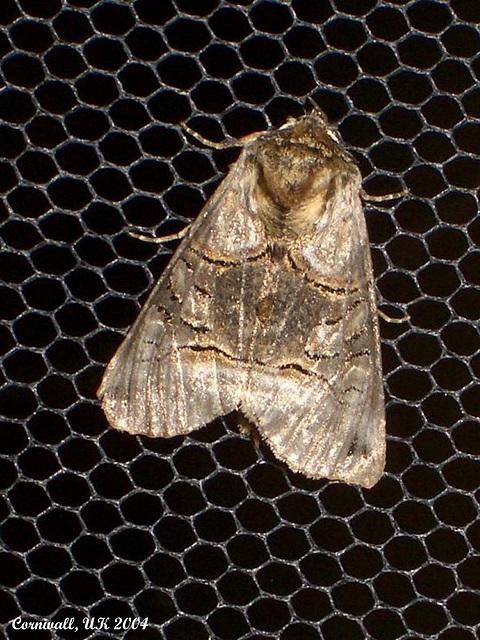 2450 Abrostola tripartitia (The Spectacle)