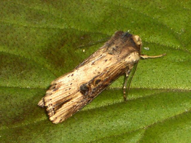 2098 Axylia putris (Flame Moth)