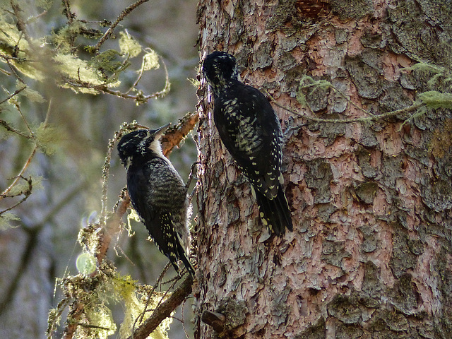 Adult and juvenile Three-toed Woodpeckers