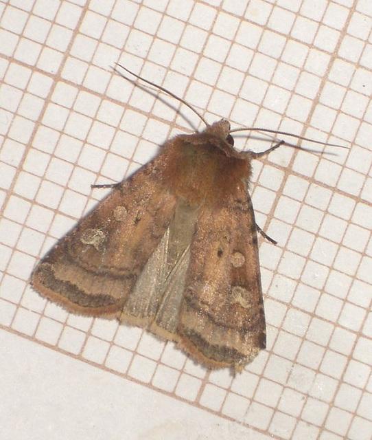 2123 Diarsia rubi (Small Square-spot)