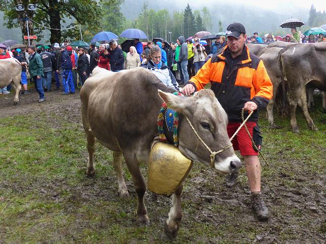 tie the cow