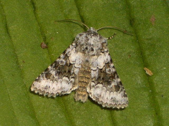 2164 Hecatera bicolorata (Broad-barred White)