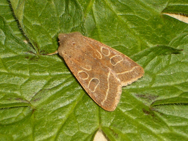 2187 Orthosia cerasi (Common Quaker)
