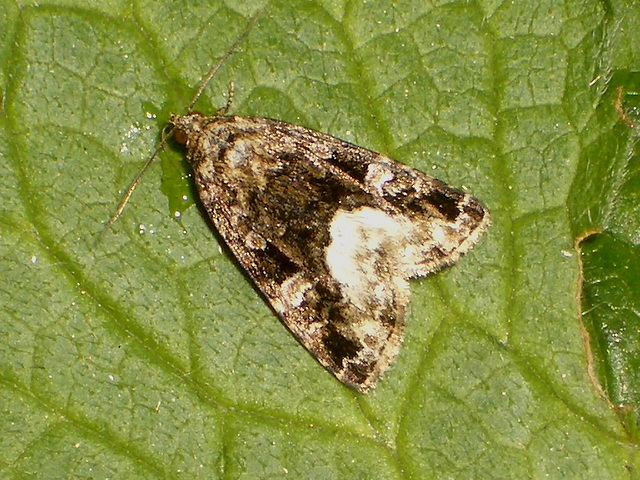 2410 Protodeltote pygarga (Marbled White Spot)