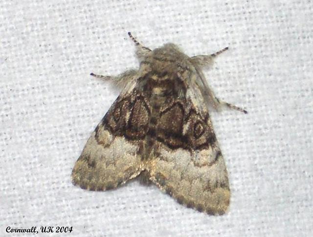 2425 Colocasia coryii (Nut-tree Tussock)