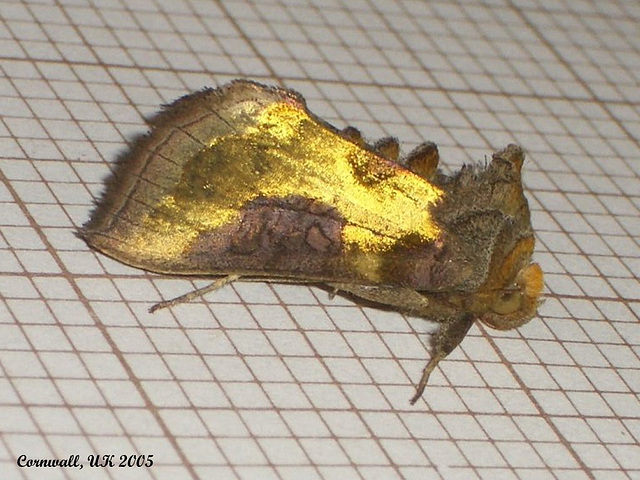 2434 Diachrysia chrysitis (Burnished Brass)