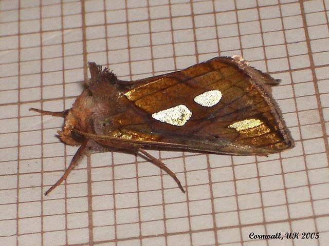 2439 Plusia festucae (Gold Spot)