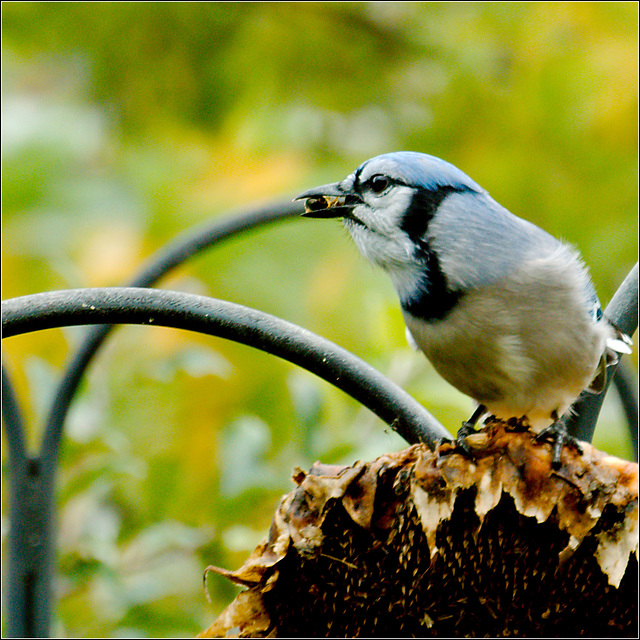 Blue Jay at Sunflower