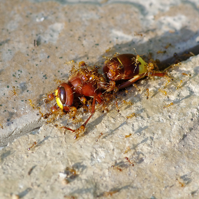 Dead hornet being dismantled by red ants