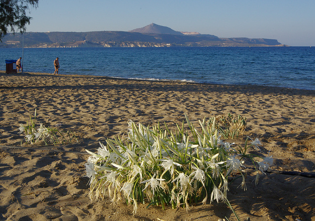 Sea Daffodils and Sea