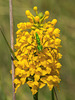 Gymnadeniopsis integra (Yellow Fringeless orchid)