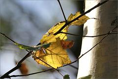 Petit bouleau d'automne