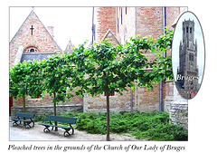 Pleached trees in Bruges 11.6.2005