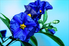 Blau-gelb