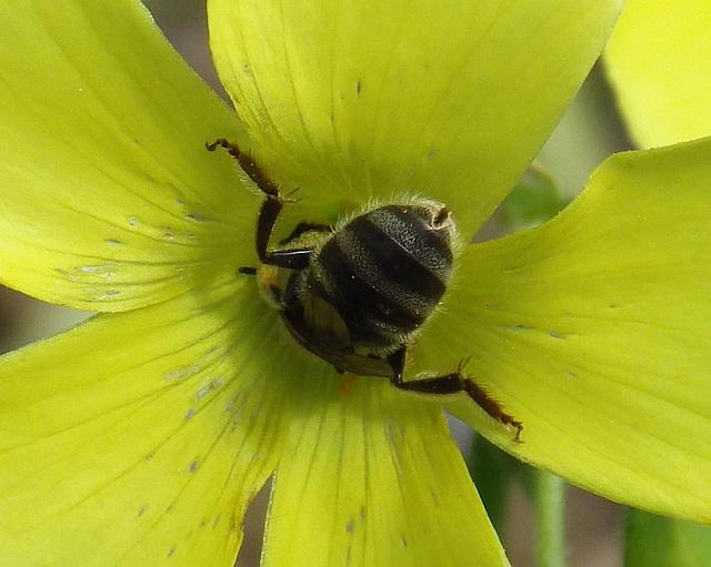 Lasioglossum (Chilalictus) lanarium
