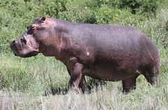 Hippopotame du Ngorongoro