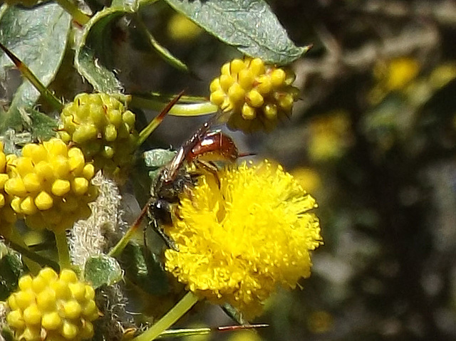 Halictid (possibly Homalictus species)