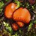 Common Eyelash. Scutellinia scuttelata