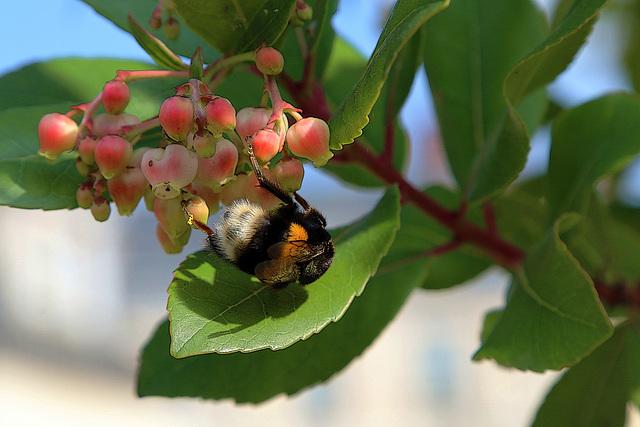 Pollinisation , le maillon affaibli