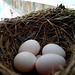 Eastern Phoebe Nest with Five Eggs