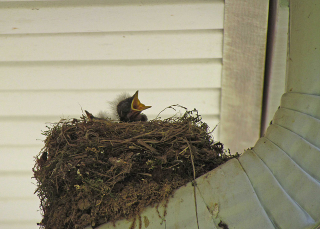 Eastern Phoebe Baby in its Nest (6/27/2013)