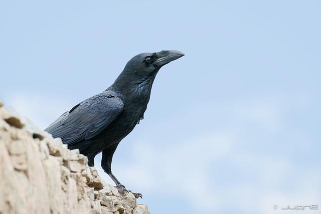 Cuervo, Corvus corax canariensis.
