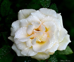 A beauty in white with soft drops.