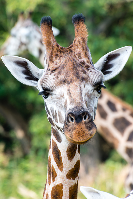 Giraffe - 20140906