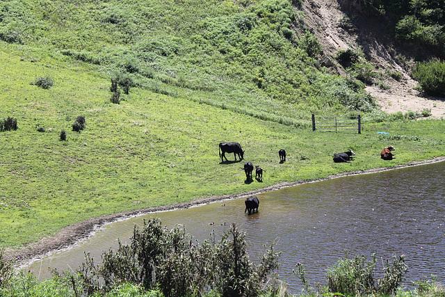 Block Island cows